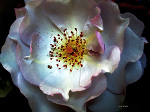 Fleur -Birgit-Yew